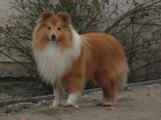 Chiens shetland sheepdog 7e4bc583 72a0 2654 89b3 be2bdce6c988 1