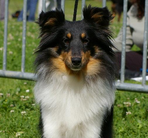 chiens-shetland-sheepdog-97ccdc97-88d7-c2b4-8976-774e2c574538.jpg